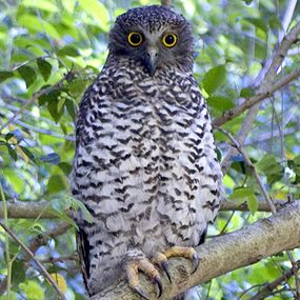 Powerful Owl.png